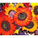 Sunflower Autumn Beauty  Helianthus Annuus Seeds