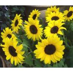 Sunflower Lemon Queen Helianthus Annuus Seeds