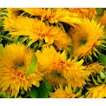 Sunflower Santa Fe Double Helianthus Annuus Seeds
