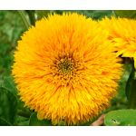 Sunflower Teddy Bear Helianthus Annuus Seeds
