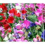 Sweet Pea Cuthbertson Mix Lathyrus Odoratus Seeds