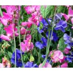 Sweet Pea Royal Family Mix Lathyrus Odoratus Seeds