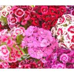 Sweet William Dianthus Barbatus Seeds