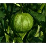 Tomatillo Pineapple Physalis Ixocarpa Seeds