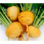 Turnip Golden Globe Brassica Rapa Seeds