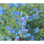 Viper's Bugloss Blue Bedder Dwarf Seeds - Echium Plantagineum