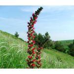 Viper's Bugloss Red Russian Seeds - Echium Russicum Rubrum