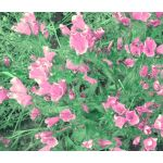 Viper's Bugloss Rose Pink Bedder Dwarf Seeds - Echium Plantagineum