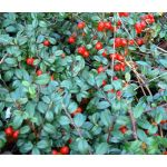 Wintergreen Creeping Seeds - Gaultheria Procumbens