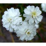 Yarrow Pearl Achillea Ptarmica Benary's Pearl Seeds