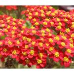 Yarrow Red Seeds - Achillea Millefolium Rubra