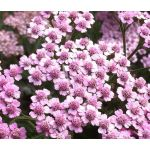 Yarrow Rose Seeds - Achillea Millefolium Cerise Queen