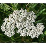 Yarrow White Seeds - Achillea Millefolium