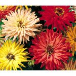 Zinnia Cactus Flowered Mix Seeds - Zinnia Elegans