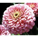 Zinnia Luminosa Pink Seeds - Zinnia Elegans