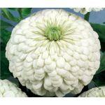 Zinnia Polar Bear Seeds - Zinnia Elegans