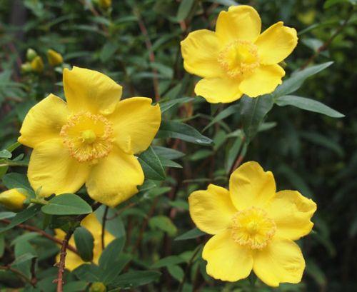 St. John's Wort Seeds - Hypericum Cerastoides