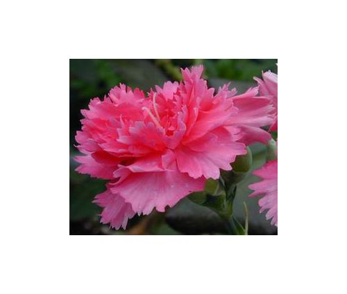 Carnation Rose Dianthus Caryophyllus Seeds