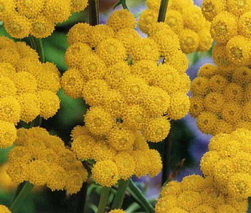 Ageratum Seeds - Yellow Lonas Inodora Seeds