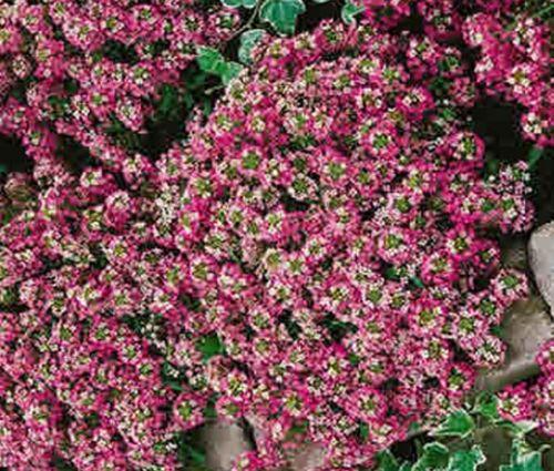 Alyssum Rosie O'Day Seeds - Lobularia Maritima