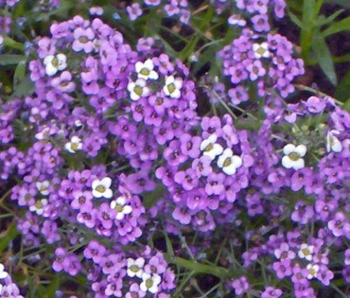 Alyssum Violet Queen Seeds - Lobularia Maritima