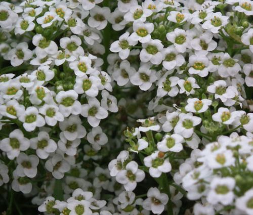 Alyssum Carpet of Snow Bulk Seeds - Lobularia Maritima