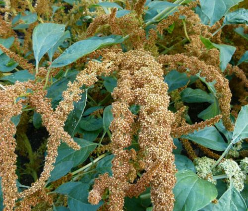 Amaranthus Hot Biscuits Seeds - Amaranthus Cruentus