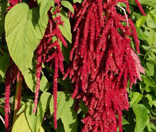 Amaranthus Love Lies Bleeding Red Seeds - Amaranthus Caudatus