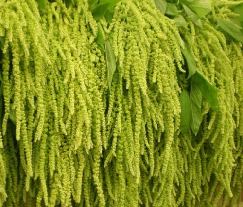 Amaranthus Love Lies Bleeding Green Seeds - Amaranthus Caudatus