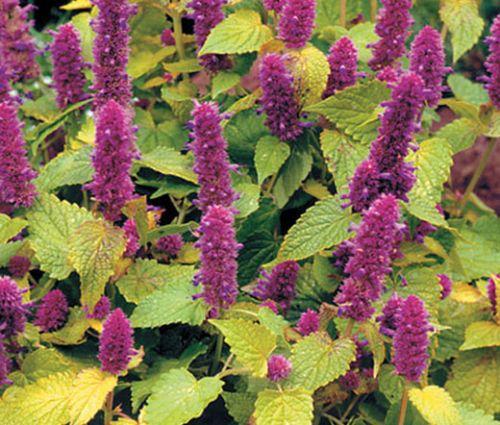Anise Hyssop Golden Jubilee Seeds - Agastache Foeniculum