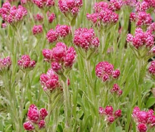 Antennaria Pussytoes Red Seeds - Antennaria Dioica Rubra