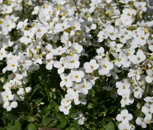 Arabis Wall Rock Cress White Snow Peak Seeds - Arabis Alpina Caucasica