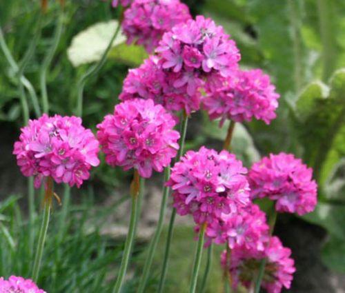 Armeria Sea Pink Seeds - Armeria Maritima Splendens