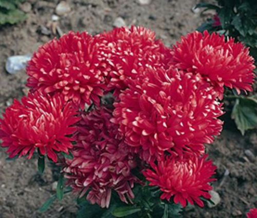 Aster Dwarf Milady Scarlet Seeds - Callistephus Chinensis