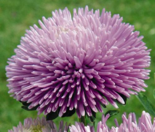 Aster Gremlin Double Lavender Seeds - Callistephus Chinensis