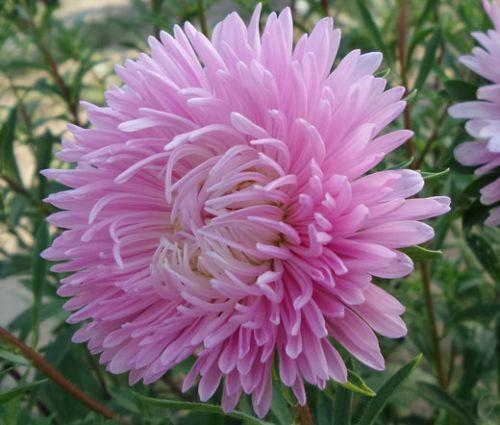 Aster Gremlin Double Light Rose Seeds - Callistephus Chinensis