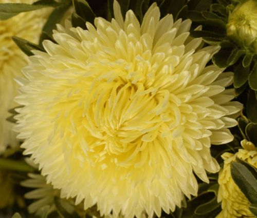 Aster Gremlin Double Yellow Seeds - Callistephus Chinensis