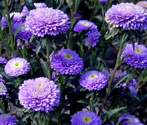 Aster Pompon Blue Seeds - Callistephus Chinensis