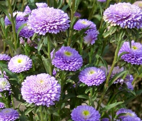 Aster Pompon Light Blue Seeds - Callistephus Chinensis