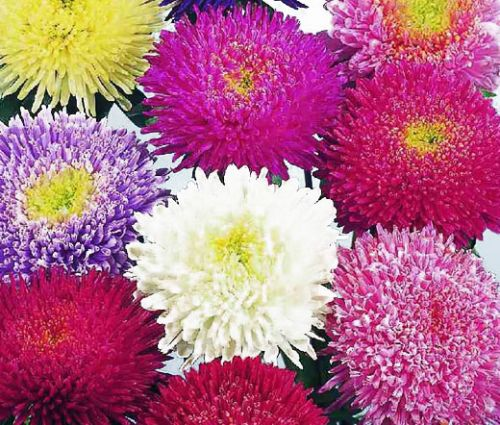 Aster Powder Puff Mix Seeds - Callistephus Chinensis