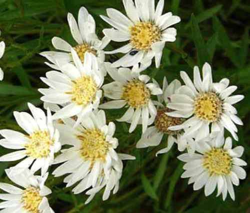 Aster White Upland Seeds - Aster Ptarmicoides