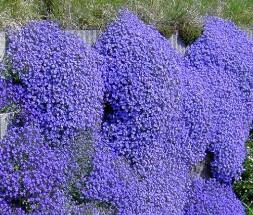 Aubrieta Rock Cress Cascade Blue Seeds - Aubrieta Hybrida Superbissima