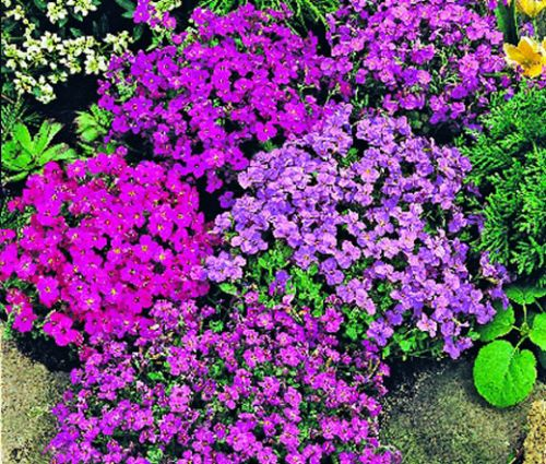 Aubrieta Rock Cress Royal Mix Seeds - Aubrieta Hybrida
