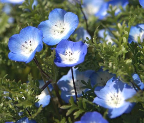 Baby Blue Eyes Seeds - Nemophila Menziesii