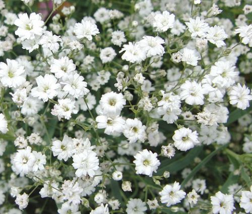 Baby's Breath Seeds - Gypsophila Elegans