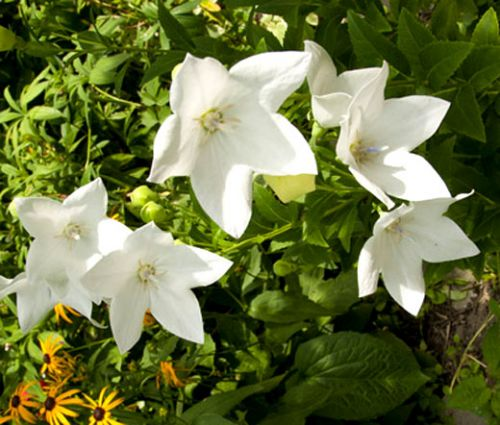 Balloon Flower White Seeds - Platycodon Grandiflorus