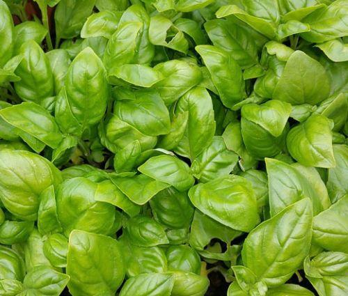 Basil Italian Large Leaf Seeds - Ocimum Basilicum