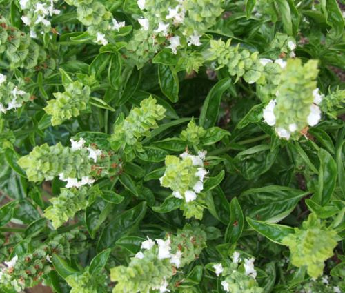 Basil Sweet Genovese Seeds - Ocimum Basilicum Genovese