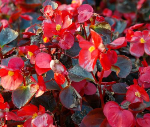 Begonia Wax Red Seeds - Begonia Semperflorens