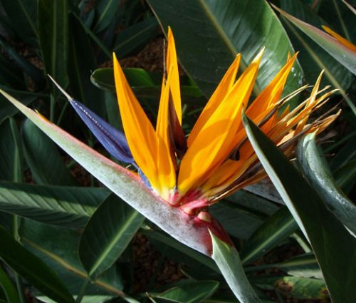 Bird of Paradise Seeds - Strelitzia Reginae